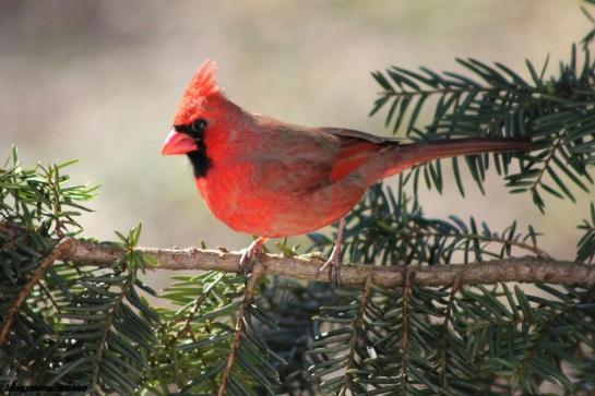 cardinal19