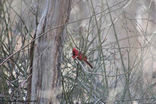 cardinal46
