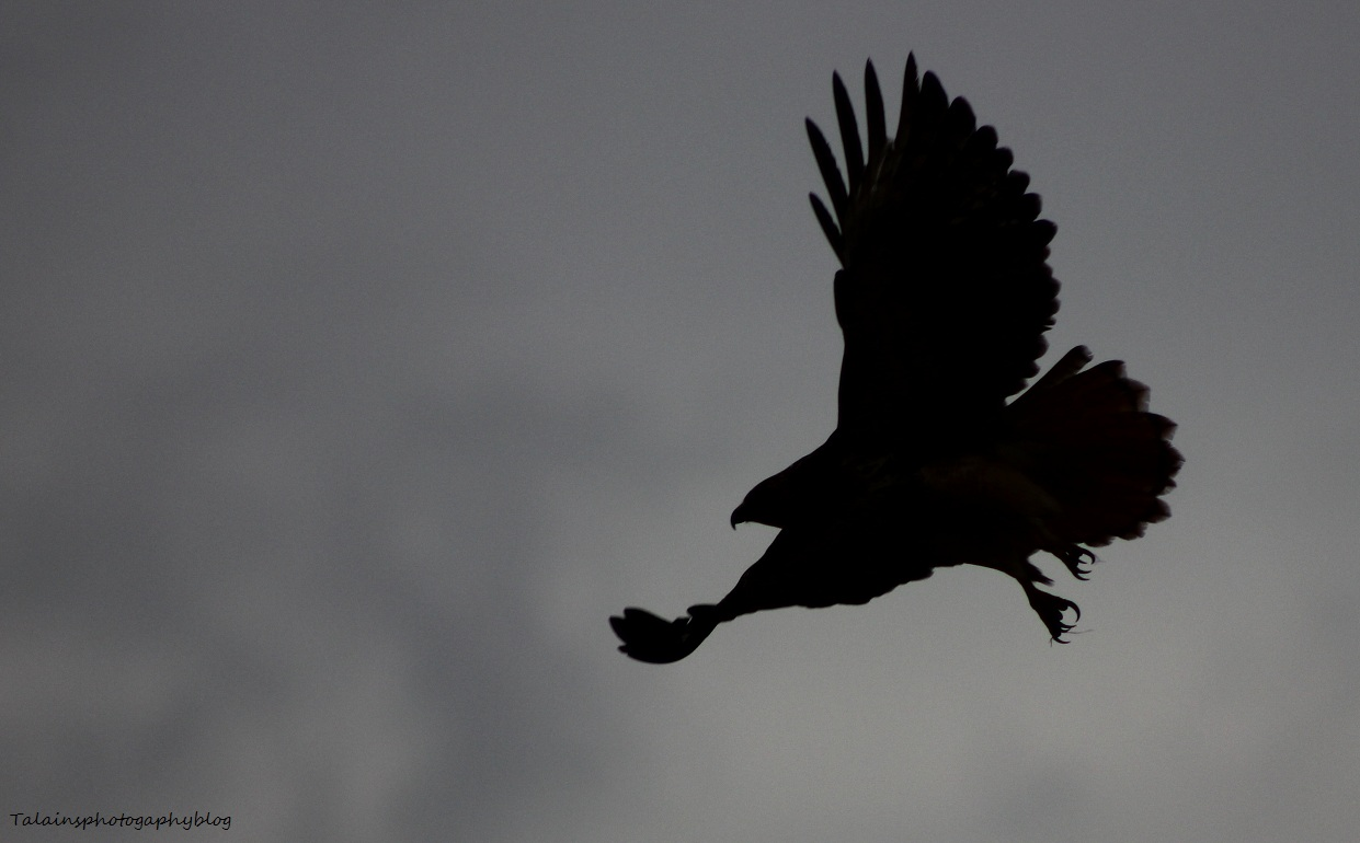 flying hawk silhouette red tail hawk flying over MEMES