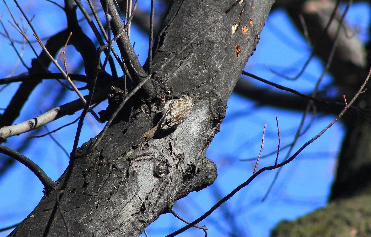 brown creeper04