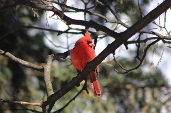 cardinal53