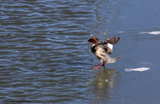 common merganser03
