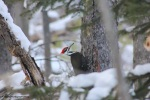 pileated29