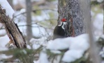 pileated30