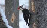 pileated48