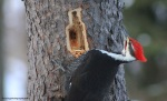pileated52