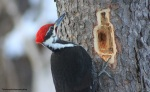 pileated56