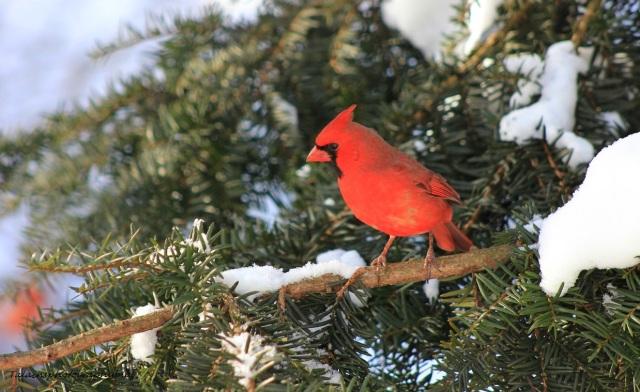 cardinal43