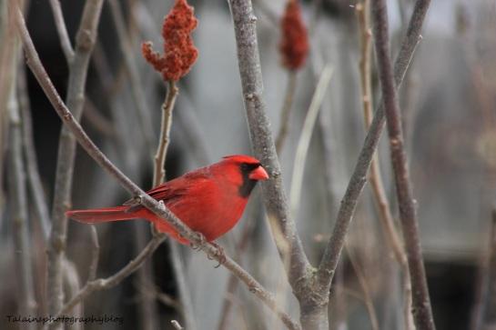 cardinal59