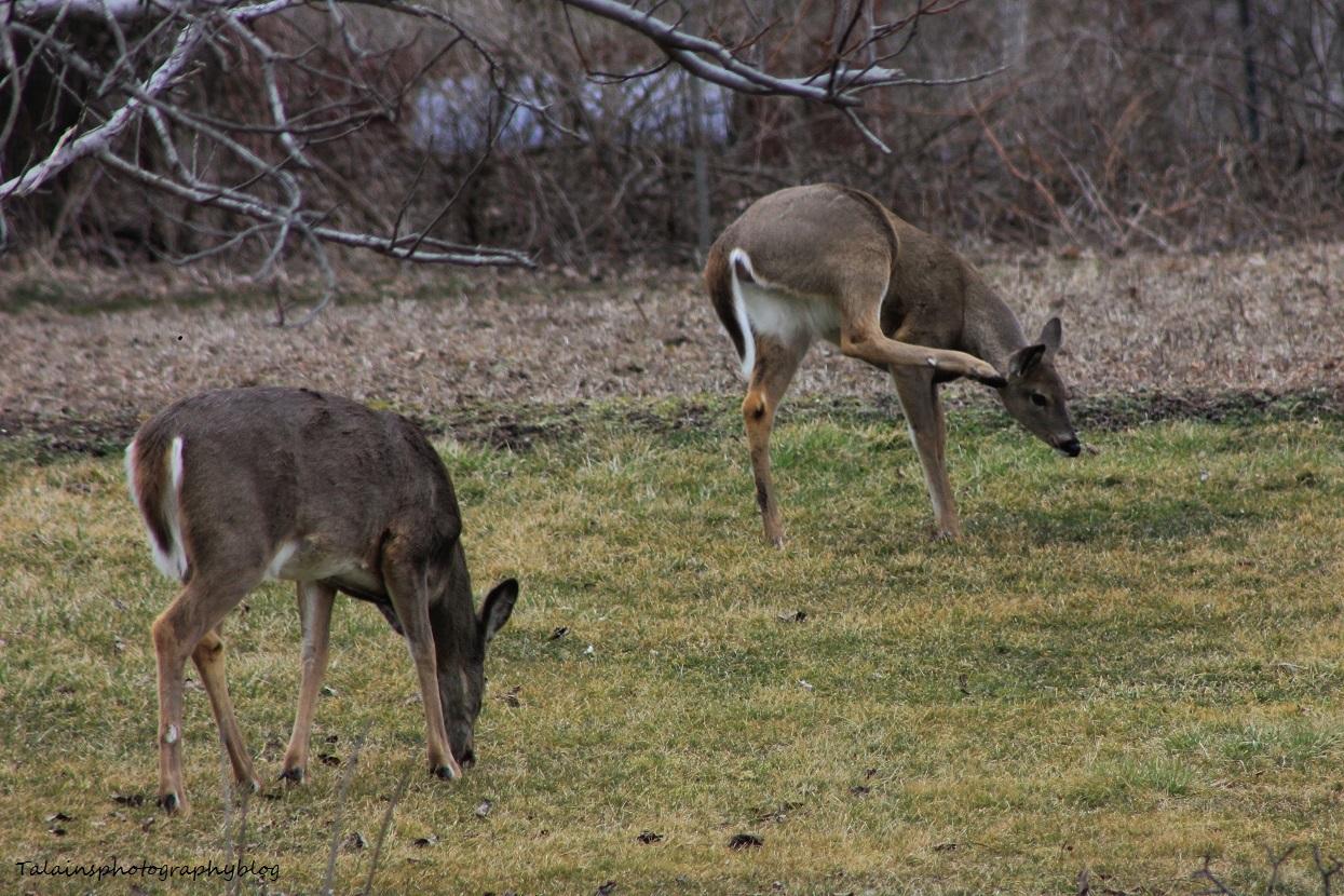 deer13