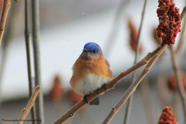 eastern bluebird28