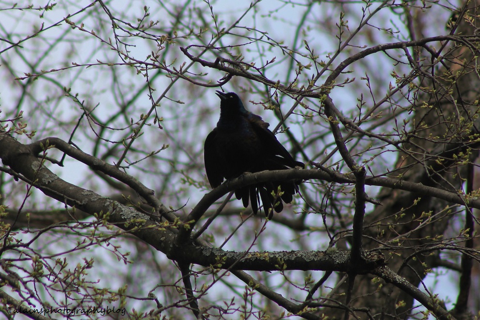 boat-tailed grackle007