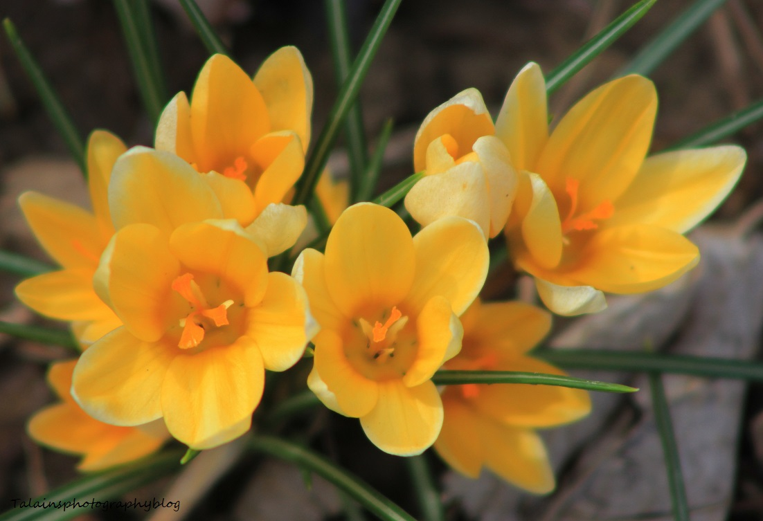 Spring yellow crocus talainsphotographyblog some of the crocus plants we have in our yard it is one of my wifes favorites she is still waiting for her most favorite the hyacinth to come out mightylinksfo