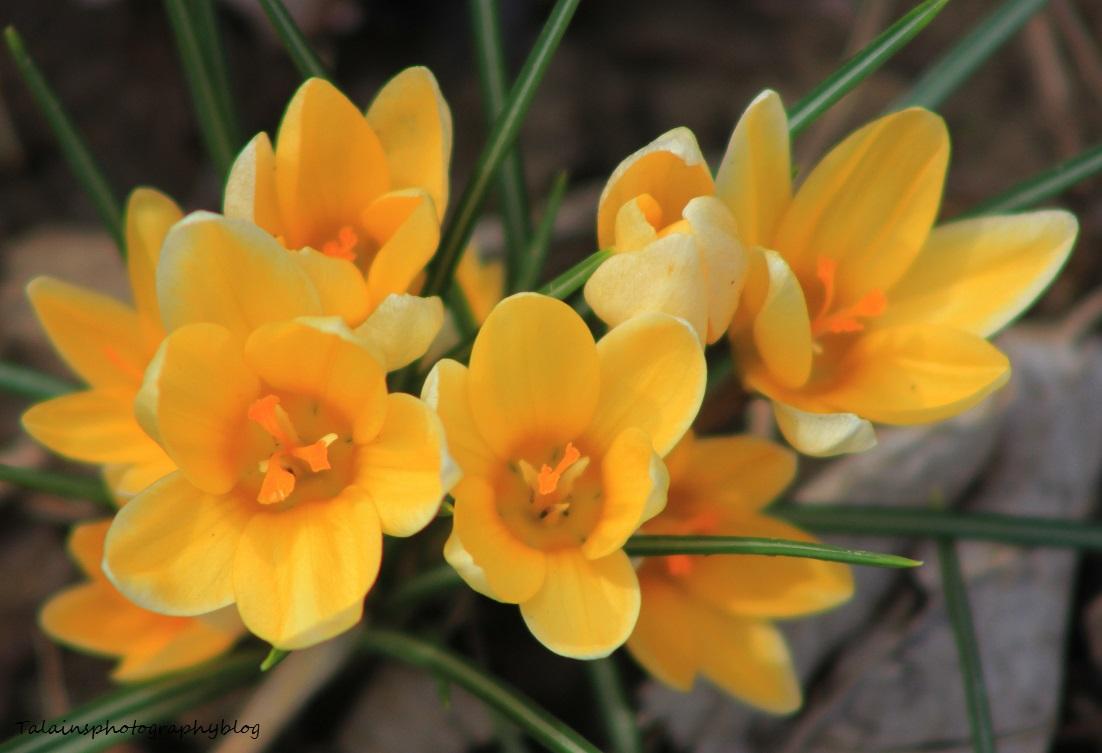 Spring Yellow Crocus Talainsphotographyblog