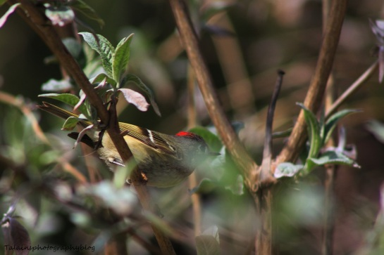ruby-crowned kinglet007
