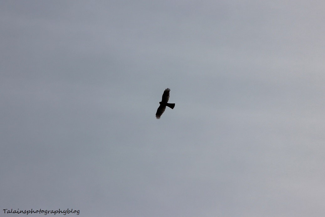 sharp-shinned hawk001