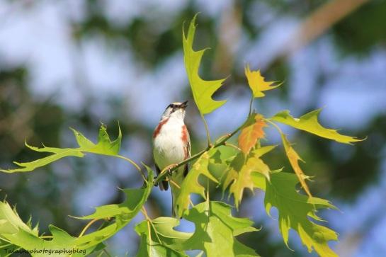 chestnut-sided warbler 043