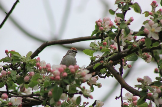 chipping sparrow005