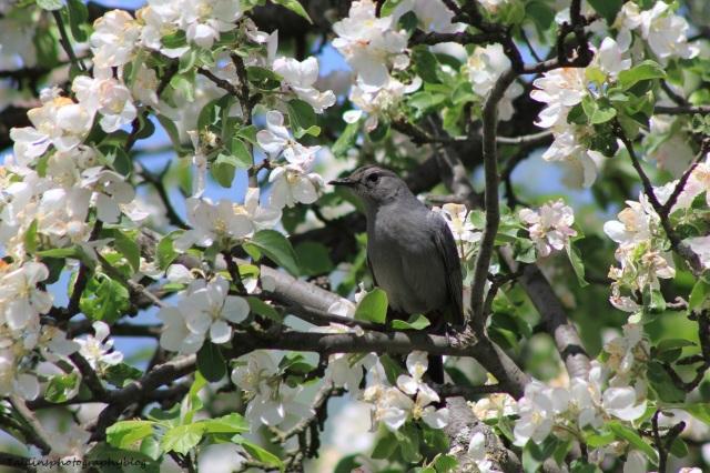 gray catbird 013