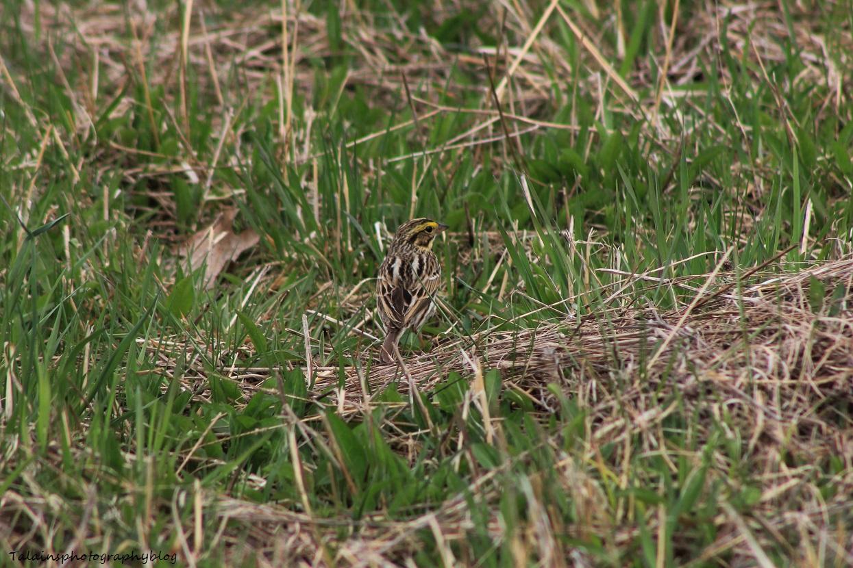 henslows sparrow02