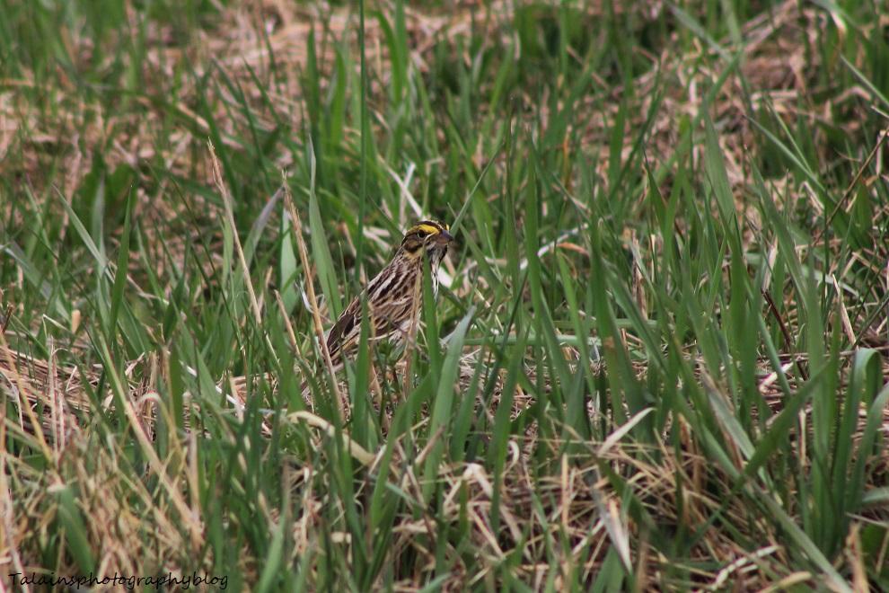 henslows sparrow05