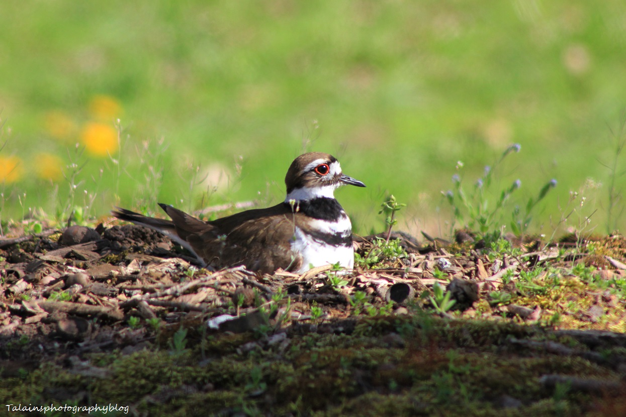 killdeer010
