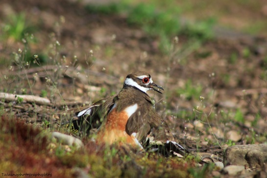 killdeer015