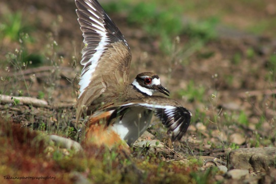killdeer016