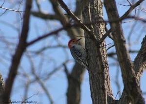 red-bellied woodpecker008