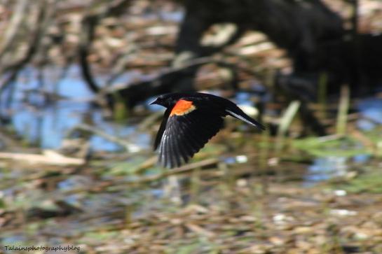 red-winged blackbird11