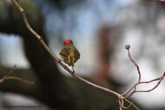 ruby-crowned kinglet018