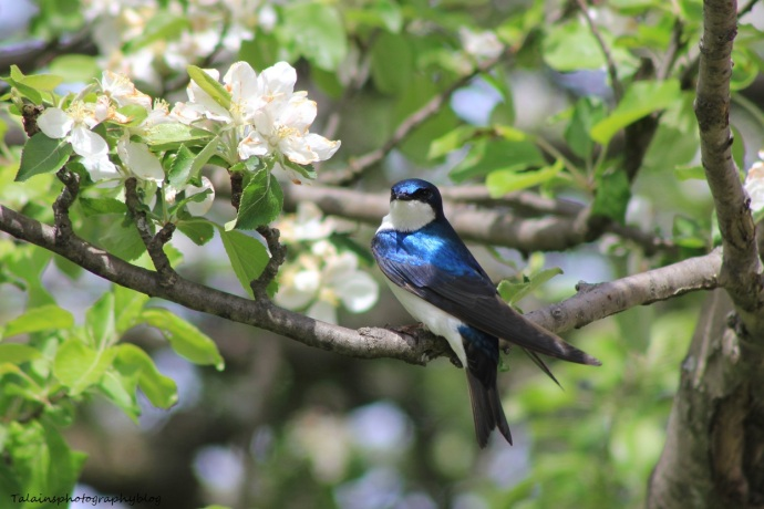 tree swallow 006