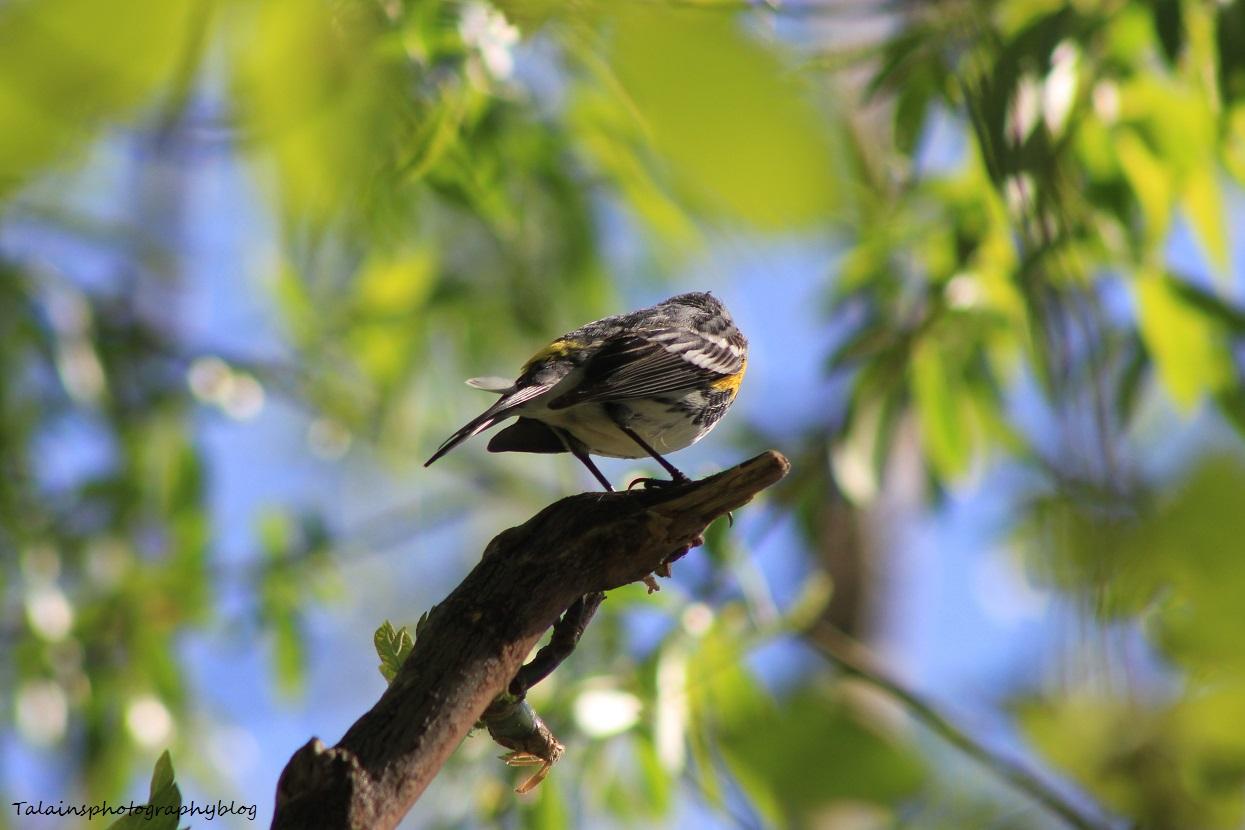 yellow-rumped warbler024