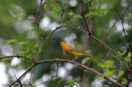 yellow warbler027