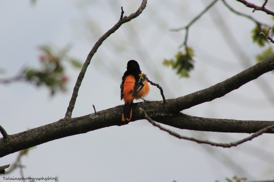 baltimore oriole 012