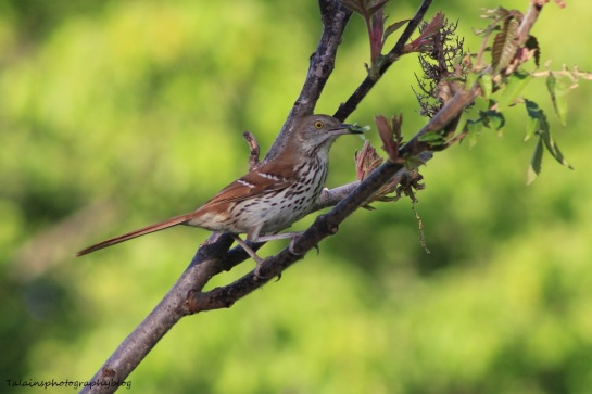 brown thrasher 004