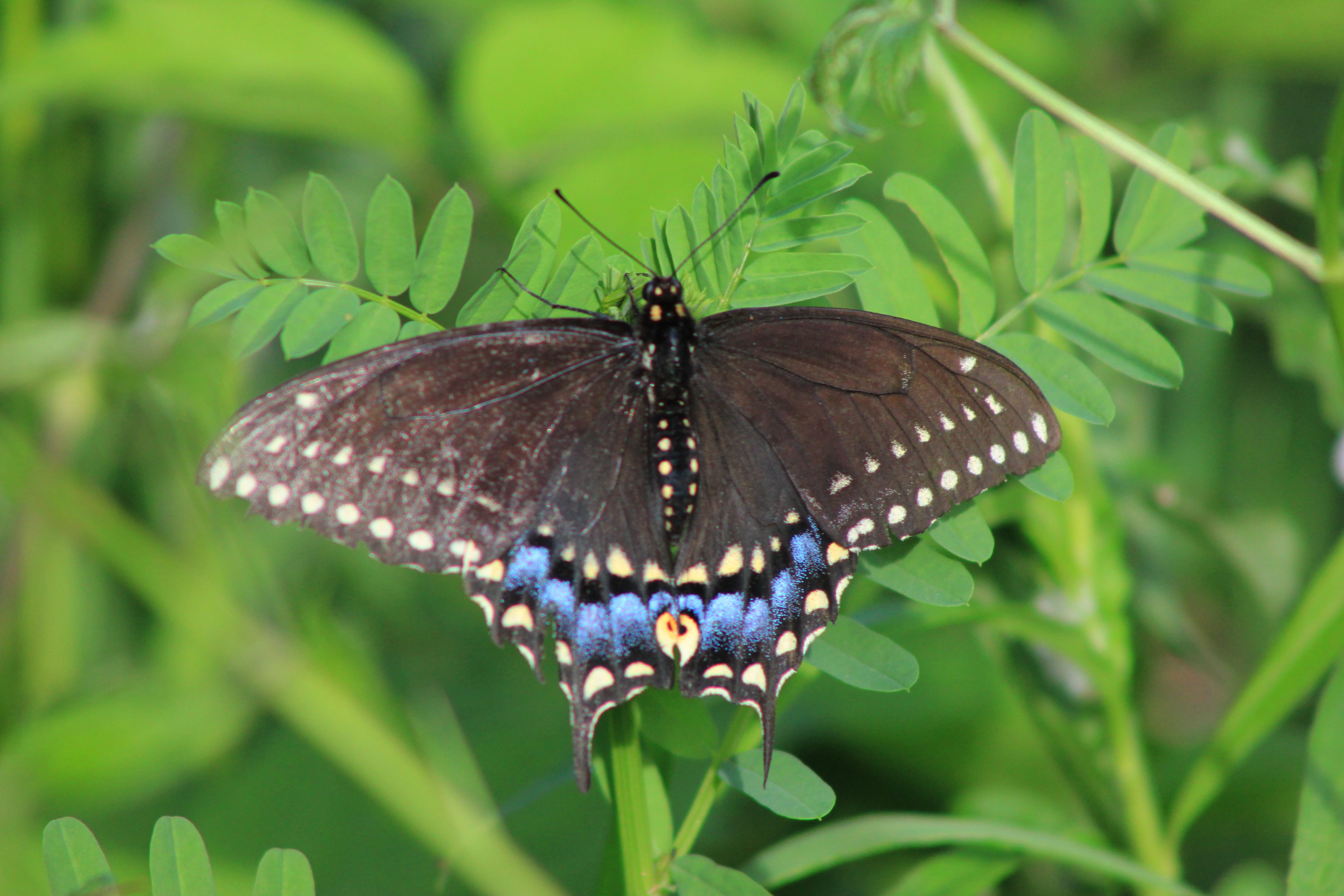 butterfly 003
