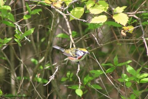 chestnut-sided warbler 012