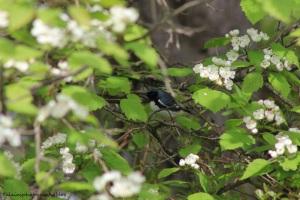 black-throated blue warbler 001