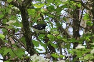 black-throated blue warbler 002