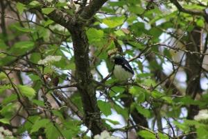 black-throated blue warbler 003
