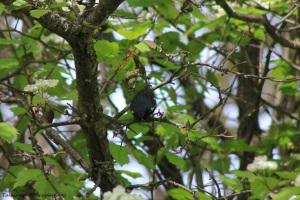 black-throated blue warbler 004