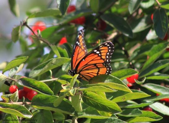 butterfly 038