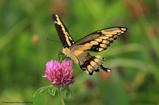 butterfly 057