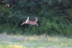 deer21