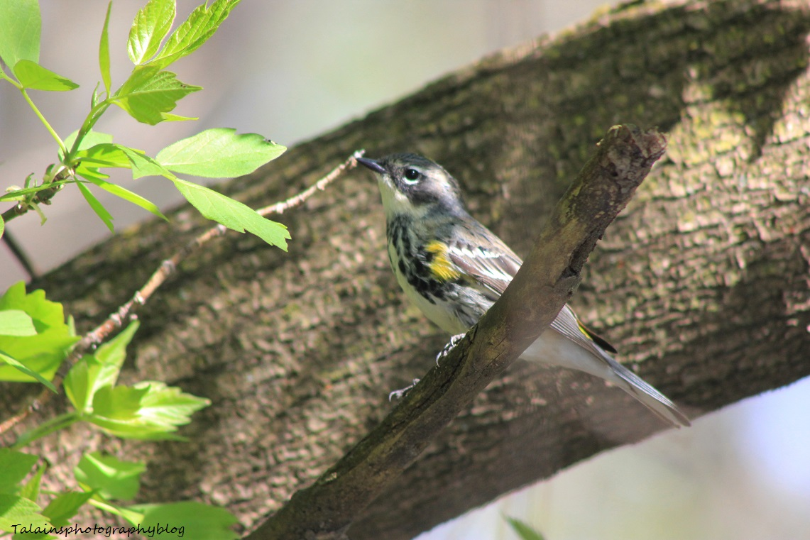 yellow-rumped warbler 017