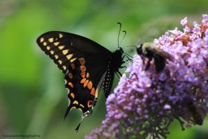 butterfly 043