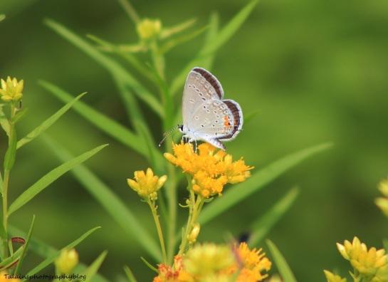 butterfly 097