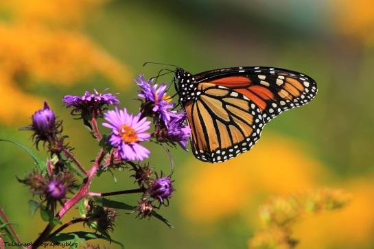 butterfly 114