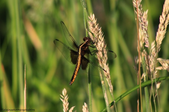 dragonfly 009